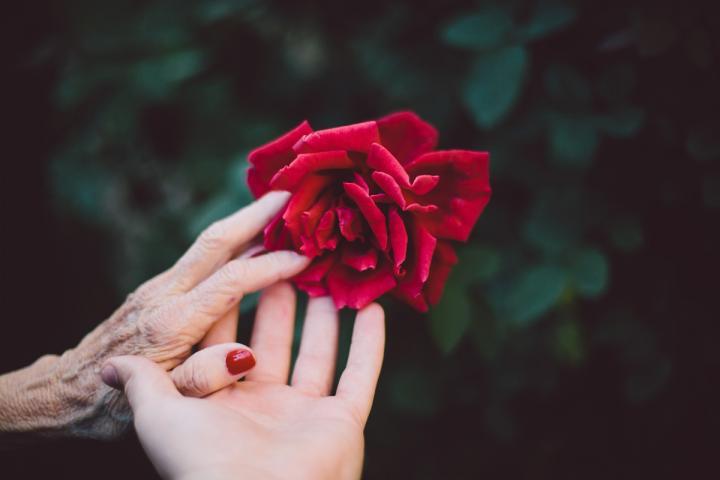 Hände verschiedener Personen greifen nach einer Rosenblüte